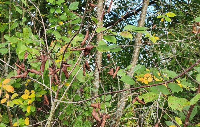 Побурение листьев вишни