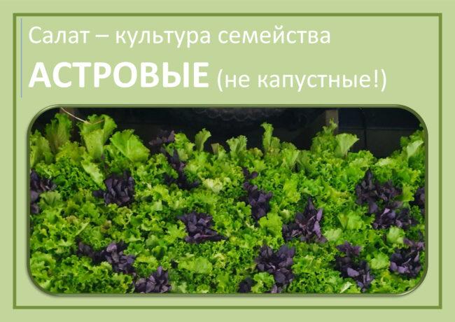 Салат - растение семейства Астровые