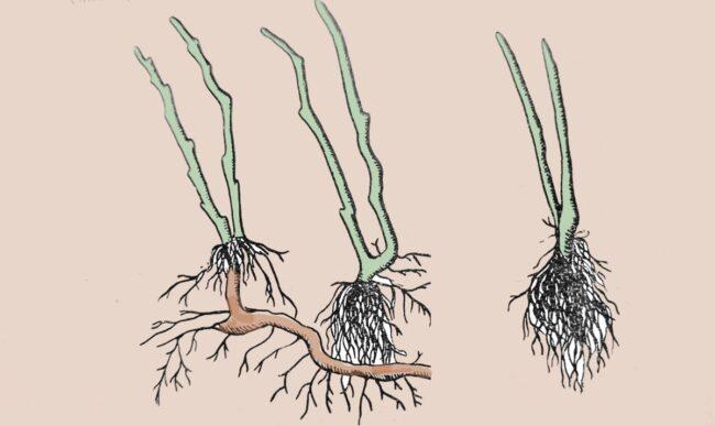 Размножение малины корневыми отпрысками