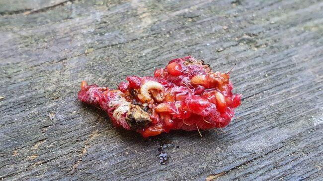 Червяк в малине