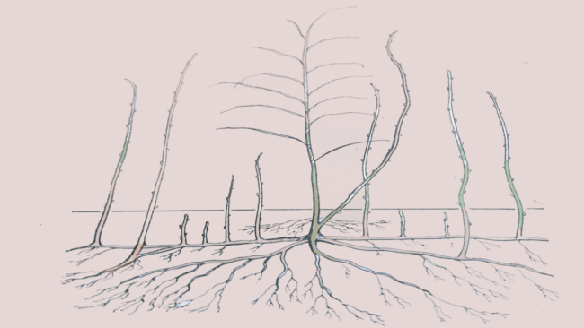 Строение куста малины