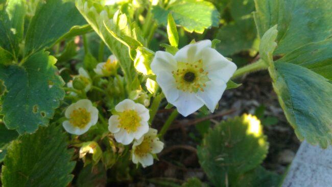 Цветок земляники, поврежденный морозом