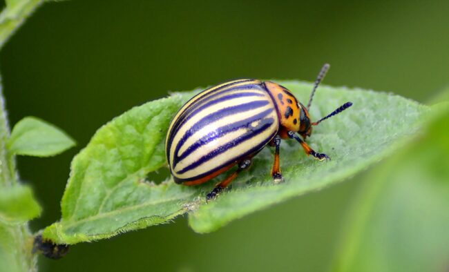 Колорадский жук: взрослое насекомое