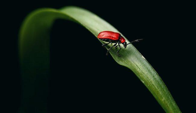 Лилейная трещалка: взрослый жук не похож на колорадского жука