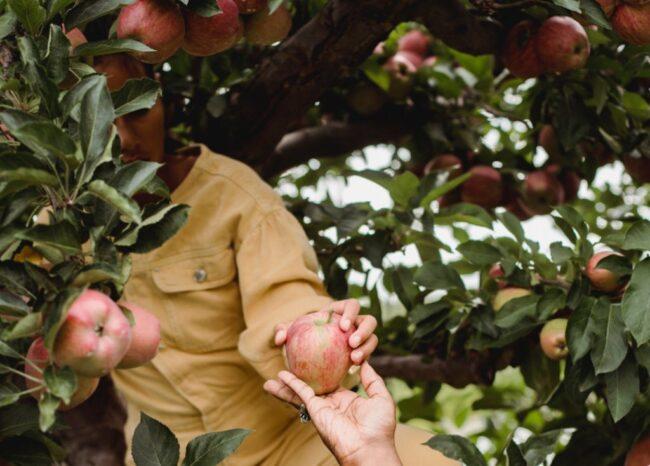 Сбор яблок вручную