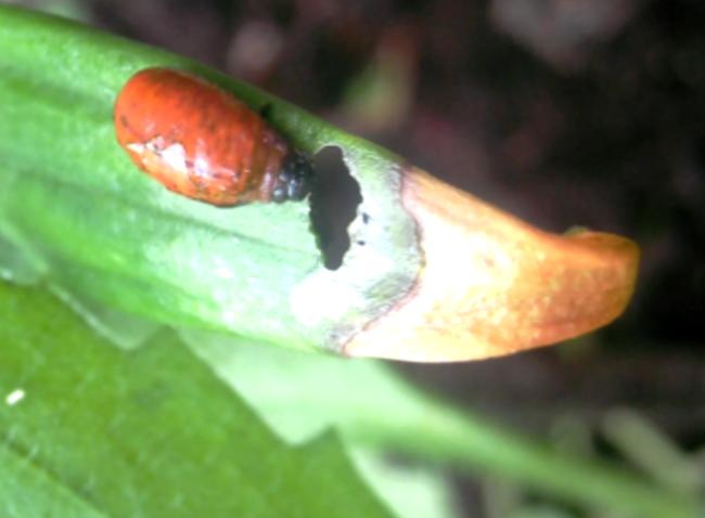 Личинка лилейной трещалки