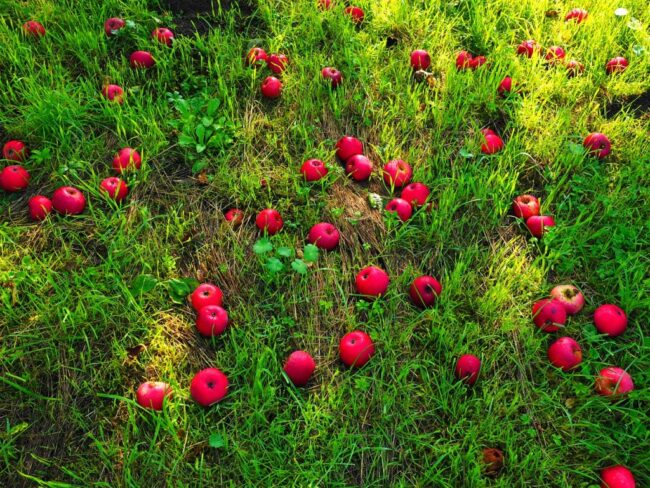 Опавшие с дерева яблоки не подлежат хранению